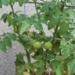 Waiting for some more of our tomatoes to ripen.